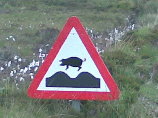 calums road pigs