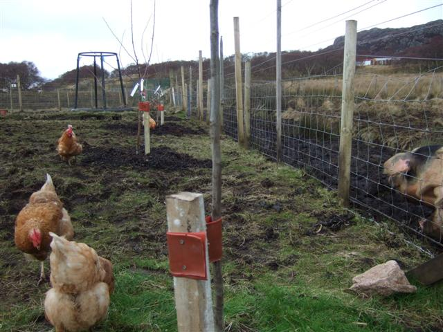 hens and chooks