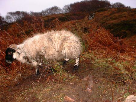 Tangled lamb
