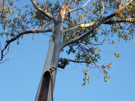 Koala bear, Raasay 27/12/08