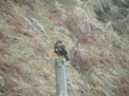 Buzzard on post