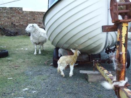 First lamb?