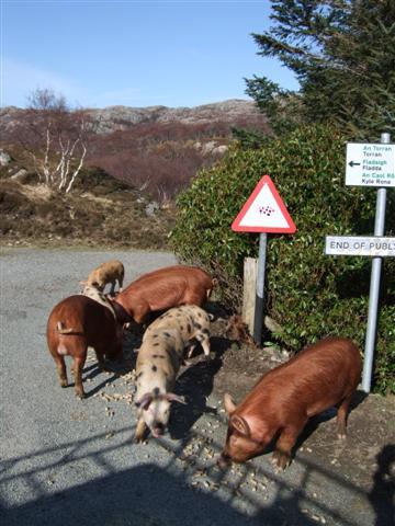 Happy 'free range' piglets