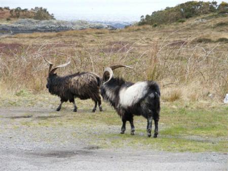 Wild mountain goats Glensheil