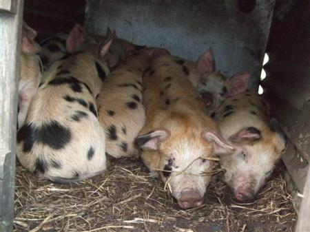 A footie team of piglets!