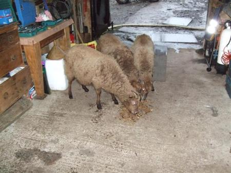 Sheep in the shop!