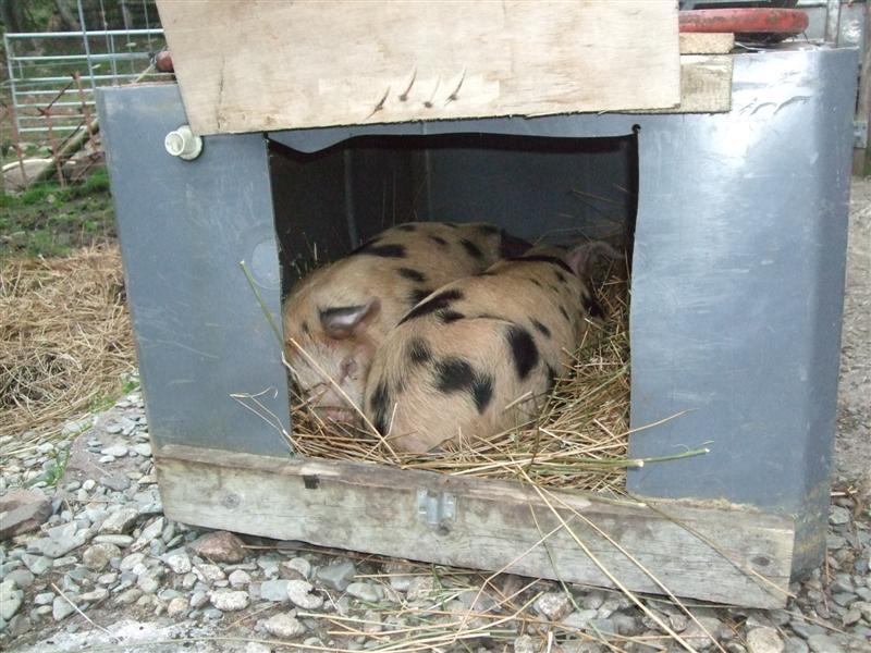 Spotty boars