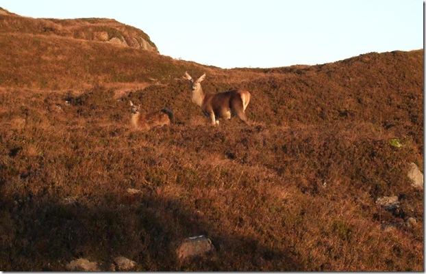 hind and calf 111109