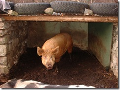 pigs 010