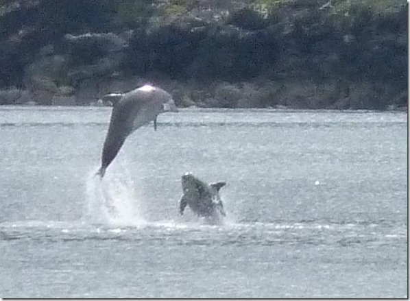 Dolphins at Braes