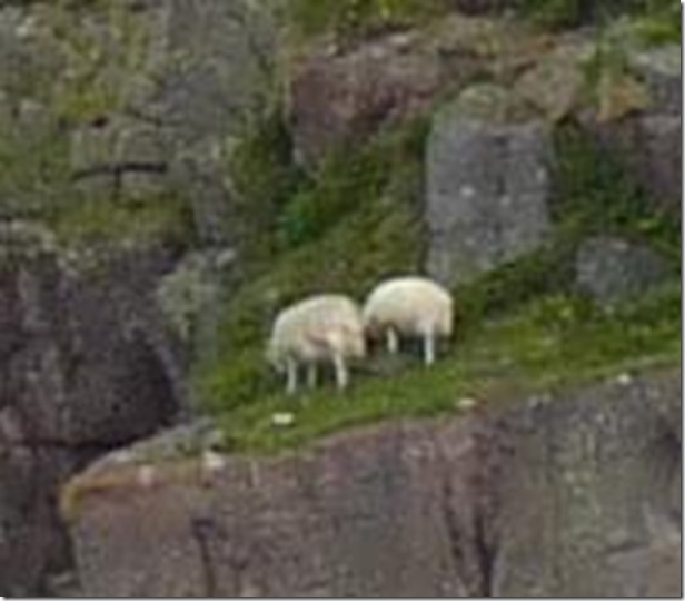 sheep on ledge