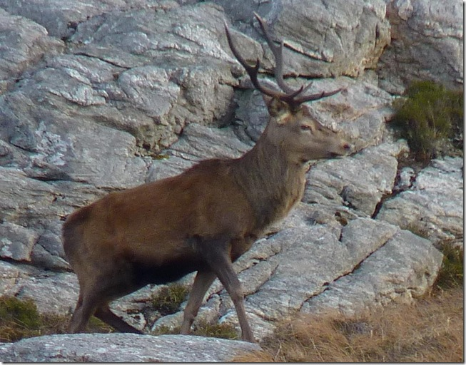 rocky stag 2