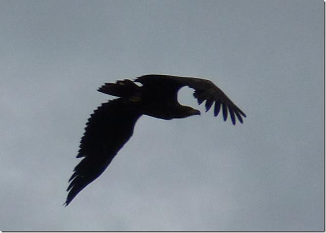 female sea eagle