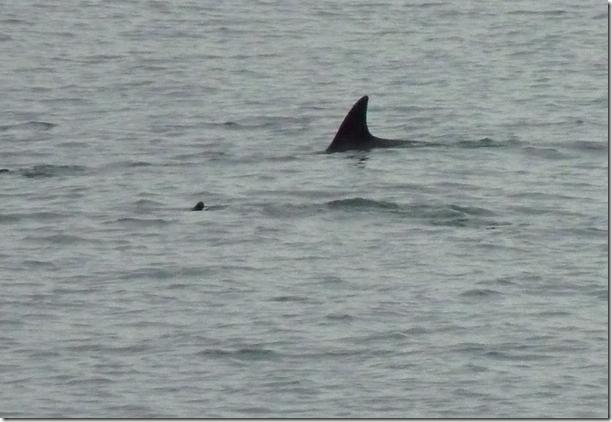 slig dolphin