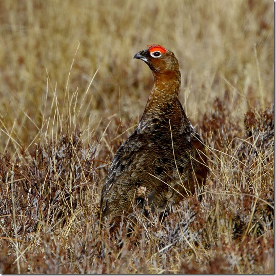 Red grouse 3