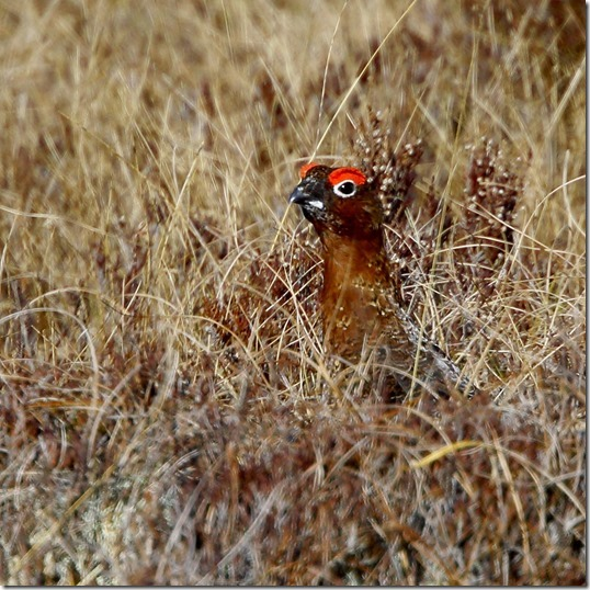 Red grouse 4