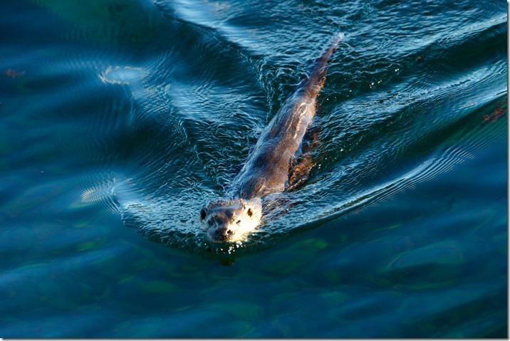 Eyre otter 2  (1)